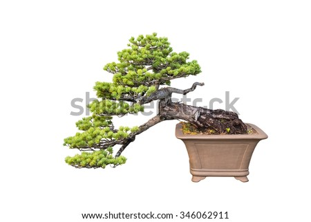 bonsai tree of pine isolated on a white background - stock photo