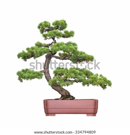 bonsai tree of pine with a white background - stock photo