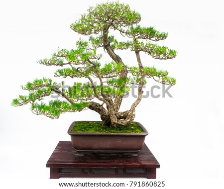 Bonsai tree on a white background beautiful