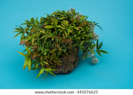 bonsai tree on display, Japanese bonsai tree in a pot with blue background  - stock photo