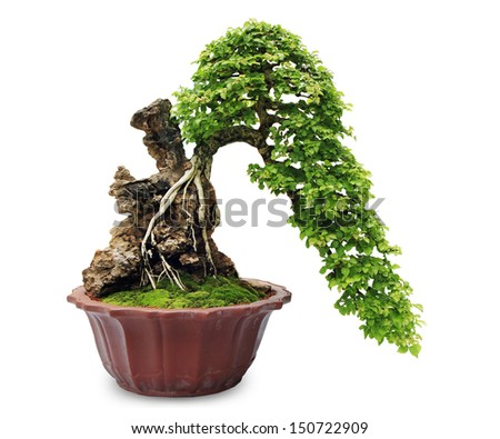 Bonsai tree on white background - stock photo