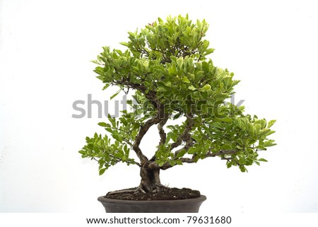 Bonsai Tree on white background - stock photo