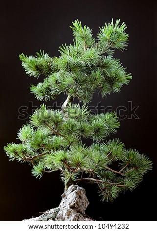 Bonsai Tree - Pinus pentaphylla - stock photo