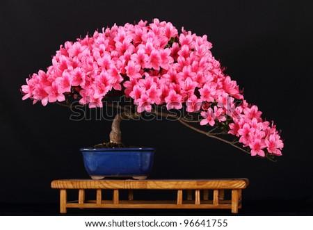 Bonsai tree Satzuki ( azalea ) - stock photo