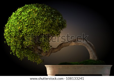 Bonsai tree side view with a black color gradient background. Part of a Bonsai series. - stock photo