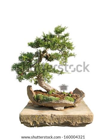 Bonsai tree with white background - Chinese juniper - stock photo