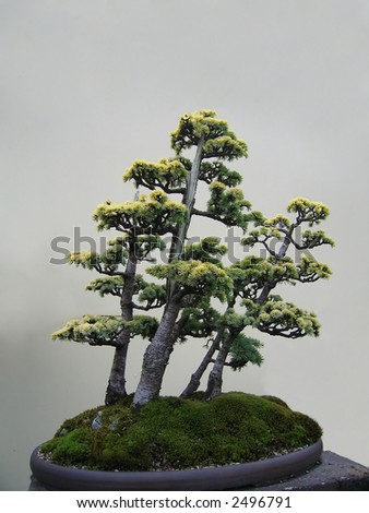 Bonsai trees in an oval pot. - stock photo