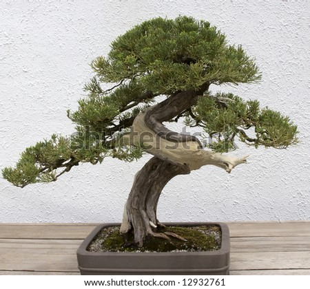 Bonsai Twisted Trunk - stock photo