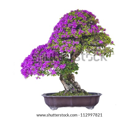 Bonsai white background