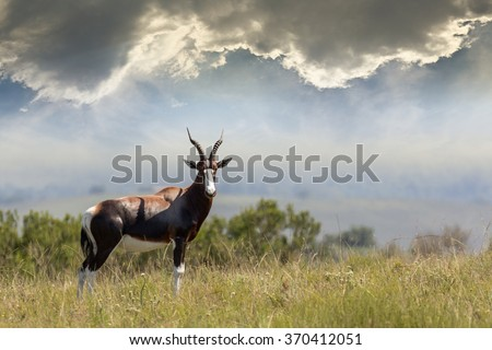 bontebok antelope in the Savannah grassland looking at the camera with an approaching thunderstorm in the background