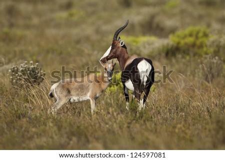 Bontebok antelope with calf, Bontebok National Park, South Africa - stock photo