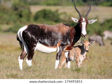 Bontebok antelope with it's baby standing on the African grassland - stock photo