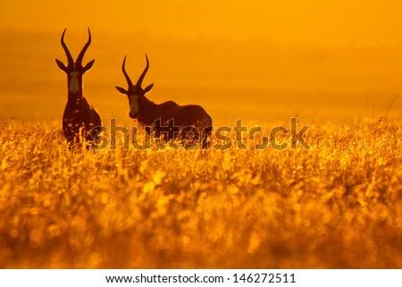 Bontebok pair standing in golden grass at sunset, Golden Gate National Park, South Africa - stock photo