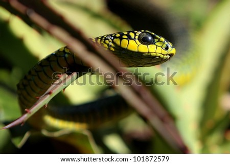 Boomslang / Tree snake on an Aloe plant in eastern cape, south africa - stock photo