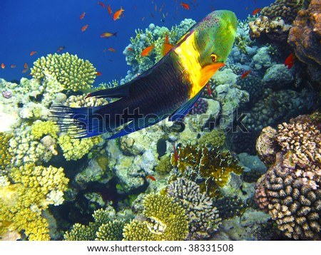Boomtail wrasse and coral reef - stock photo