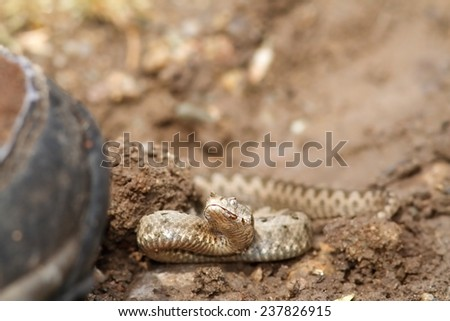 boot walking towards sand viper ( Vipera ammodytes ), you can see how the snake is preparing for a strike - stock photo