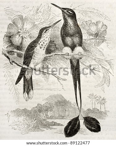 Booted Racket-tail old illustration (Ocreatus underwoodii). Created by Kretschmer, published on Merveilles de la Nature, Bailliere et fils, Paris, ca. 1878 - stock photo