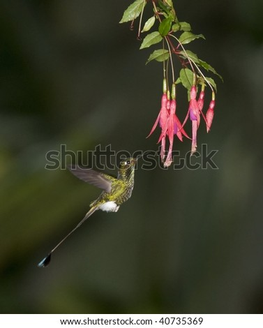 Booted Racket-tailed Hummingbird Hovering At Fuschia (Ochreatus underwoodii)
