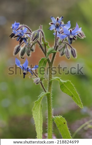Borage - Borago officinalis Rare Blue Wild Flower - stock photo