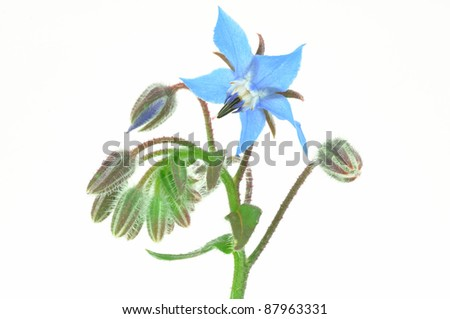 Borage Flower Isolated - stock photo