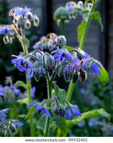 Borage flowers (Borago officinalis)