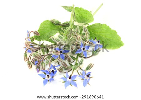 Borage leaves and flowers on a bright background - stock photo