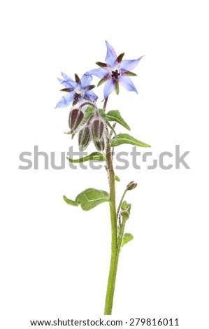 Borage or starflower, Borago officinalis, flowers and foliage isolated against white - stock photo