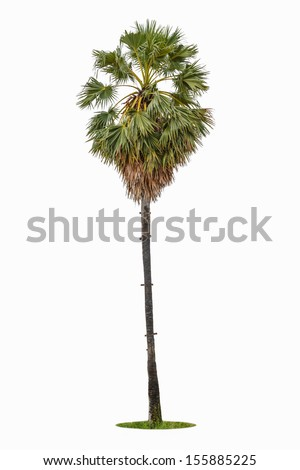 borassus flabellifer ( asian palmyra palm, toddy palm, sugar palm, or cambodian palm) tropical tree, isolated on white background - stock photo