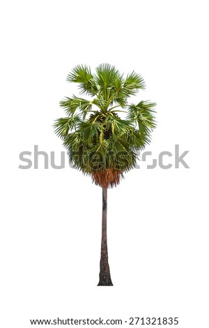borassus flabellifer ( asian palmyra palm, toddy palm, sugar palm, or cambodian palm) tropical tree, isolated on white background. - stock photo