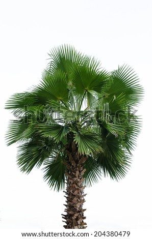 Borassus flabellifer, known by several common names, including Asian Palmyra palm, Toddy palm, Sugar palm, or Cambodian palm, tropical tree in the northeast of Thailand isolated on white background. - stock photo
