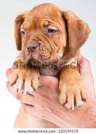 bordeaux dog - stock photo