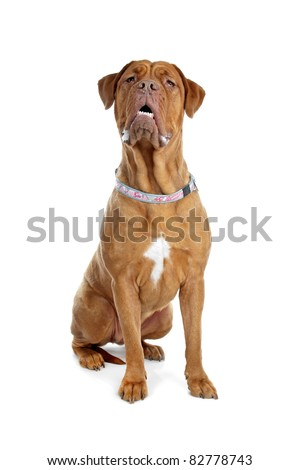 Bordeaux dog or French Mastiff in front of a white background