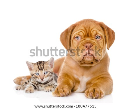 Bordeaux puppy dog and bengal kitten together. isolated on white background - stock photo