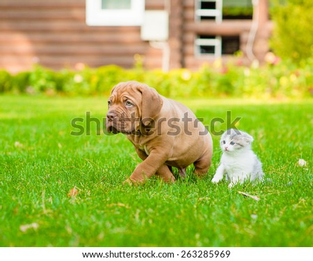 Bordeaux puppy dog and newborn kitten walking together on green  - stock photo