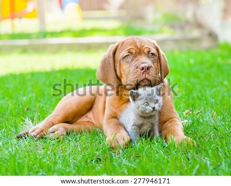 Bordeaux puppy dog embracing cute kitten on green grass - stock photo