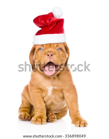 Bordeaux puppy dog  in red  christmas hat  sitting in front. isolated on white background - stock photo