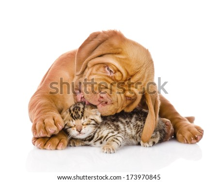 Bordeaux puppy dog licking bengal kitten. isolated on white background - stock photo