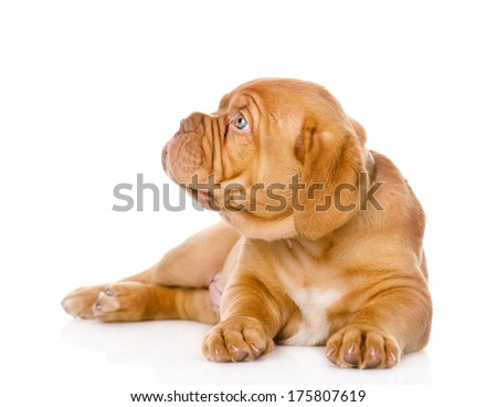 Bordeaux puppy dog looking to the left. isolated on white background