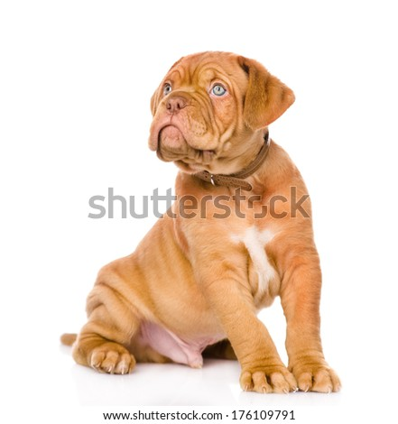 Bordeaux puppy dog looking up. isolated on white background - stock photo