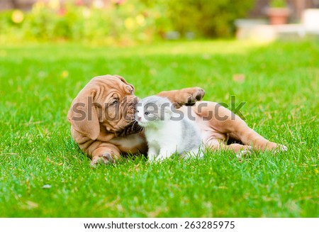 Bordeaux puppy dog playing with kitten on green grass - stock photo