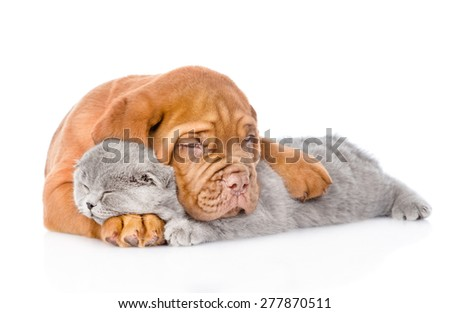Bordeaux puppy embracing sleeping cat. isolated on white background - stock photo