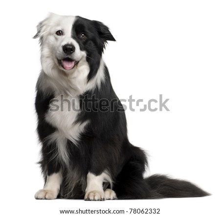 Border Collie, 8 and a half years old, sitting in front of white background - stock photo