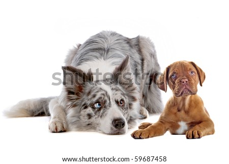 border collie and bordeaux dog puppy isolated on a white background - stock photo