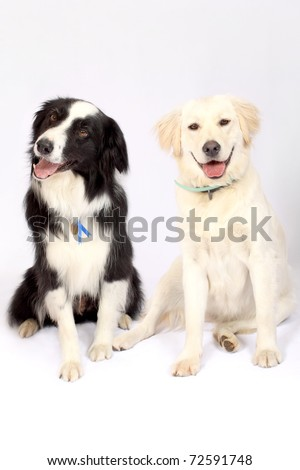 Border Collie and Labrador breeds sitting next to each other