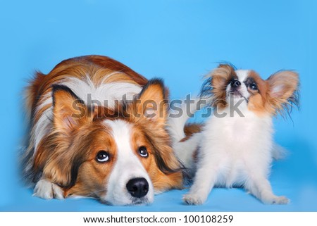 border collie and pappilion puppy - stock photo
