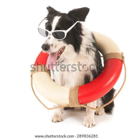 Border collie as funny rescue dog isolated over white background - stock photo