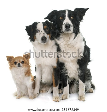 border collie, australian shepherd and chihuahua in front of white background