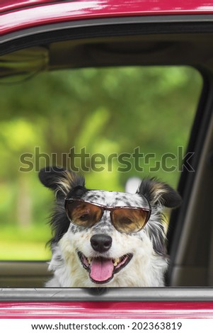 Border collie / Australian shepherd dog in car driver seat with sunglasses looking happy hot excited ready cute adorable  - stock photo