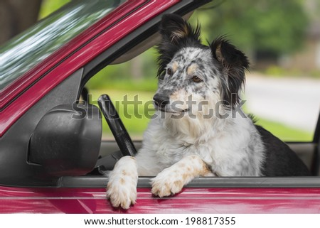 Border Collie / Australian Shepherd dog in car looking curious happy about to jump out - stock photo