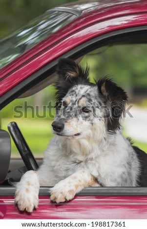Border Collie / Australian Shepherd dog in car looking curious happy expectant intrigued about to jump out - stock photo